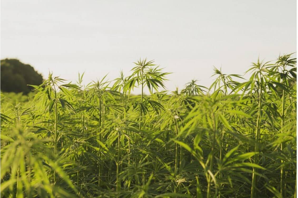 Marijuana crops