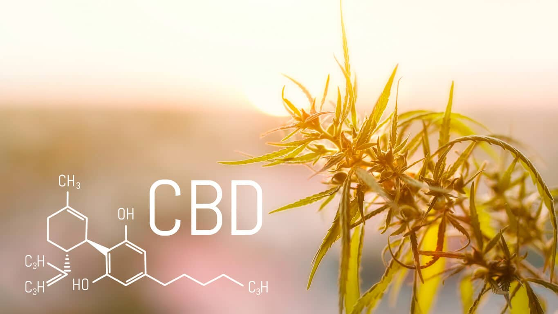 Hemp industrial plantation. Cannabis plant growing outdoors, lit by warm morning light. Cannabis oil cannabidiol with marijuana plant. CBD concept