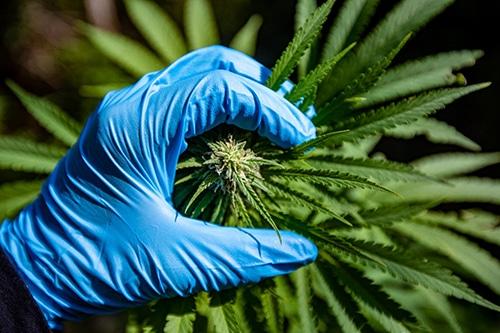 marijuana plant with blue gloved hand